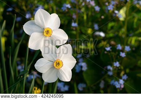 Two Narcissus Flowers Blooming With Blue Forget-me-not Flowers On The Background In The Garden.