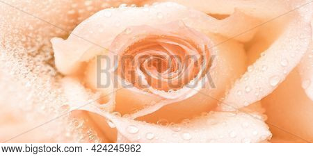 Banner. A Drop Of Peach Rose In Water Droplets Close-up. You Can Use The Background For Postcards, C
