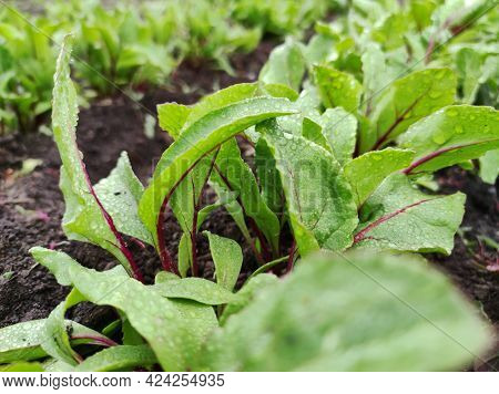 The Beetroot Or Table Beet, Red Garden Beet. Dew On Beet Leaves.