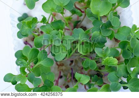 Microgreen Radish Red Top View. Growing Microgreens At Home On Cotton Wool. Green Young Sprouts Of R