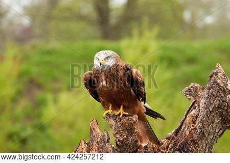 Red Kite, Bird Of Prey Portrait. The Bird Is Sitting On A Stump. Ready To Attack Its Prey. In The Ra