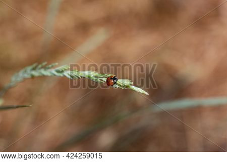 Ladybug On Blade Of Grass. Windy Day Shot Stolen Before Flying Away.