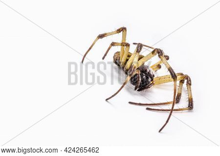 Closeup Of Large Dead Spider On Isolated White Background, Concept Of Arachnophobia, Arachnid Killed