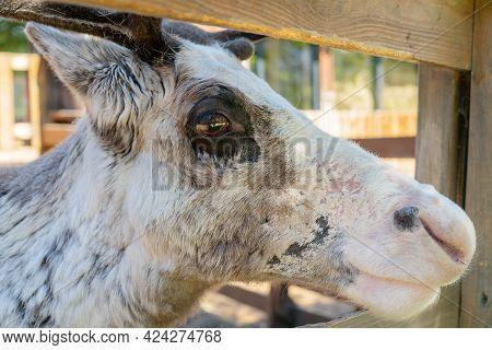 Reindeer On A Farm On A Summer Day. Cute Pet.