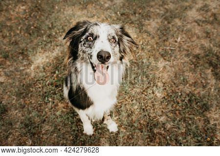 Portrait Happy Border Collie Dog Sticking Tongue Out On Dry Lawn. Summer And Obedience Concept.