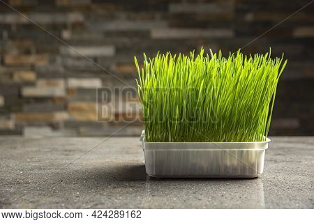 Barley Grass. Sprouted Barley Grains In A Container. Barley Sprouts For Food. The Concept Of Diet, V