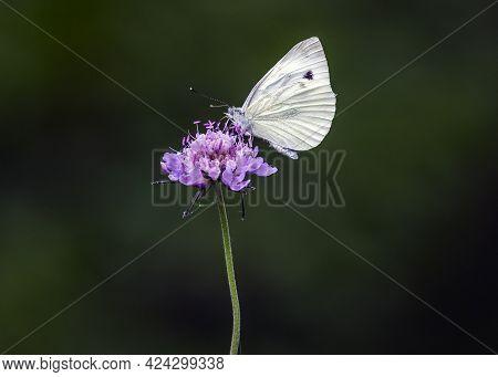 A Pieris Rapae, A Moth Belonging To The Pieridae Family.