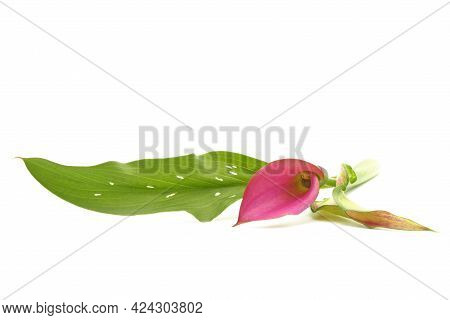 Beautiful Pink Calla Lily, Zantedeschia Rehmannii, Photographed On A White Background.