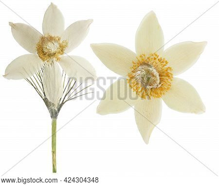 Pressed And Dried Pulsatilla (pasque Flower) Isolated On White Background. For Use In Scrapbooking,