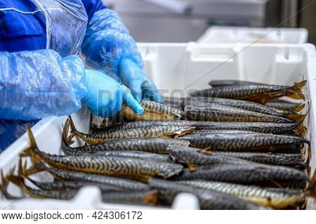A Worker Lays Down Smoked Mackerel. The Fish Lies In A Heap In A White Plastic Box. Delicious And Nu