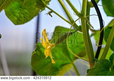 Cucumber Plant With Yellow Flower In Greenhouse
