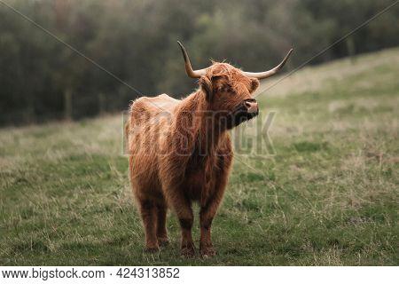 Scottish Highland calf in the field