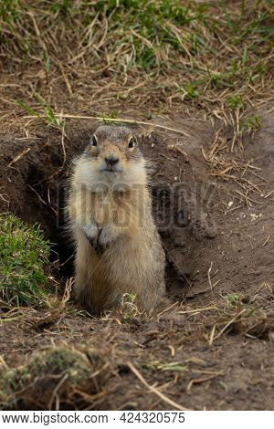 The Ground Squirrel Guards Its Burrow And Looks Directly Into The Camera. A Gopher Stands On Its Hin