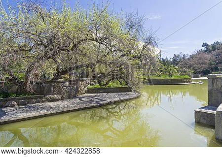 Sudak, Crimea - April 28, 2021: The Branches Of A Large Tree Hang Over The Surface Of The Water.  A