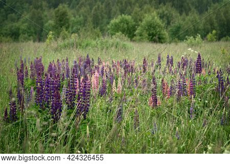 Colorful Lupine Flowers Bloom Among Green Grass In Field, Summer Landscape