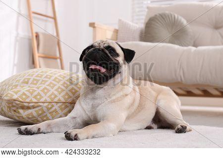 Cute Fawn Pug Lying On Floor At Home