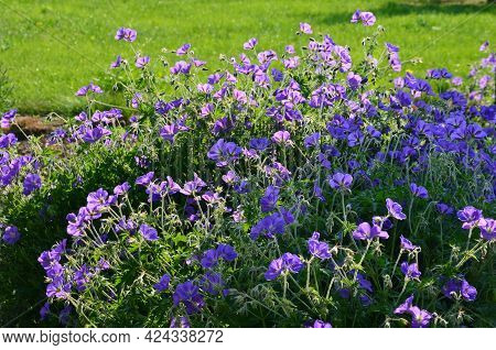 Is A Perennial Growing To A Height Of 40 Cm. It Forms A Ground Rosette Of Leaves That Can Form A Thi