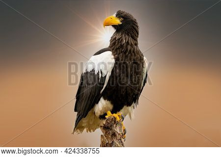 Stellers Sea Eagle Sits On A Stump Against The Background Of A Nice Orange And Golden Sky, With The
