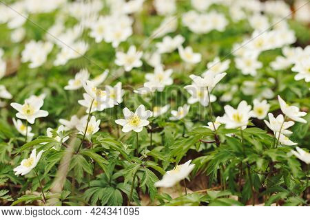 White Flowers Of Wood Anemone In The Forest, Small Depth Of Focus. Anemonoides Nemorosa Or Anemone N