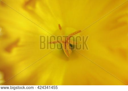 Close Up Of Narcissus (or Daffodil) Stamens With Pollen, Small Depth Of Focus.