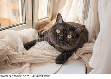 Сute Cat Looks At Camera Laying On Windowsill On Crumpled Ivory Tulle