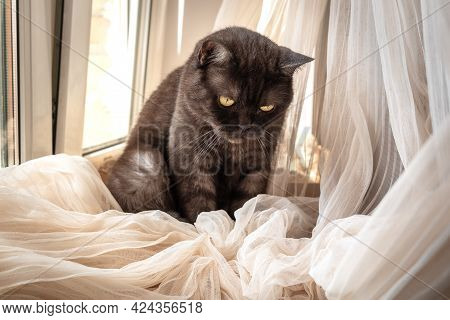 Cute Cat Sits On Windowsill Playing With Curtains