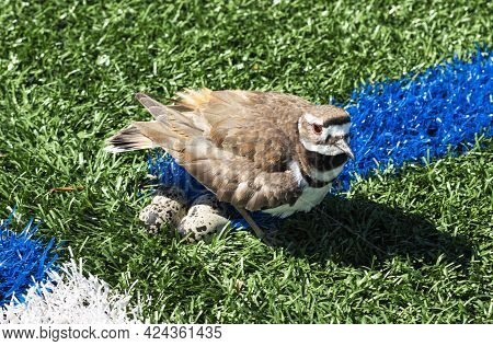 A Killdeer Plover Laid Her Eggs On A Green Sports Turf Field.