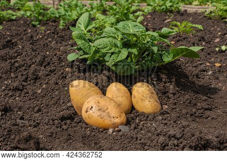 Large White Potatoes Lie On The Ground In A Field Next To The Potato Plants. White Fresh Potatoes On