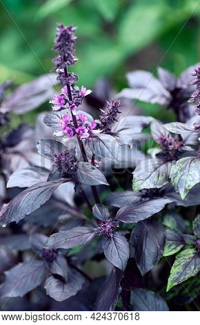 Fresh Leaves Of Purple Basil On A Green Natural Background. Close-up. Food Background. Vertical Crop