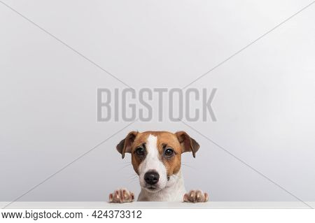 Gorgeous Purebred Jack Russell Terrier Dog Peeking Out From Behind A Banner On A White Background. C