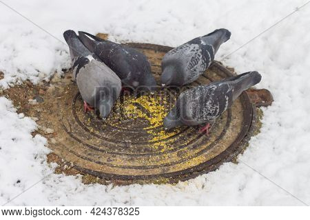 Hungry Birds Pigeons Peck Grain Millet In Winter On A Warm Hatch Without Snow, People Help Wild Bird