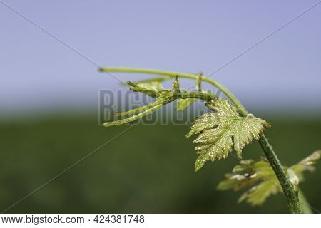 Young Shoot With Vine Leaves Closeup On Blurred Background