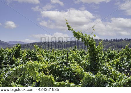 Grape Vines In The Vineyard Closeup On The Sky With Clouds