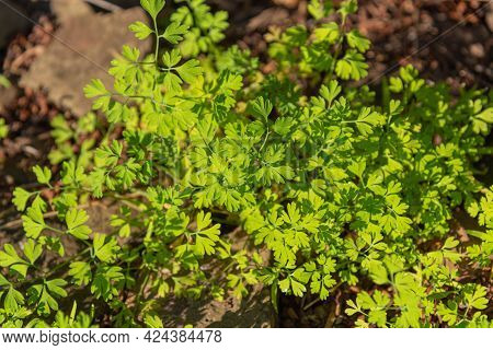 Trifolium Repens Herbaceous Plant Group. Plant That Is Part Of The Fabaceae Family, Which Brings Tog