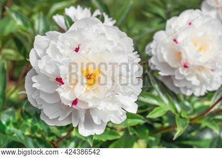 Peony Festiva Maxima Is A Versatile Plant That Looks Equally Great In Single And Group Plantings, An