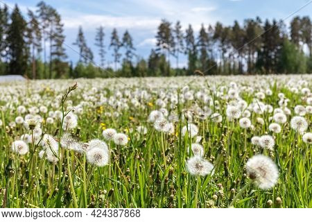 A Large Field Of Dandelions. White Fluffy Dandelions Are Blooming. Summer Background. Medicinal Plan