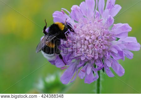 Closeup Of A Buff-tailed Bumblebee , Bombus Terrestris On The Purple Flower Of A Field Scabious , Kn
