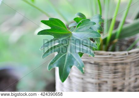 Philodendron Xanadu, Philodendron Xanadu Croat Or Mayo And J Boos Plant
