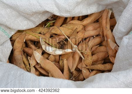 White Kidney Beans Crop. A Close-up On Large White Beans In An Open Bean Pod And Dry Bean Pods In An