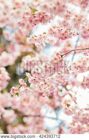 Amazing Pink Cherry Blossoms On The Sakura Tree. Beautiful Spring Tree. Selective Focus.