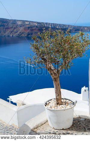 Olive Tree With Caldera View, Beautiful Details Of Santorini Island