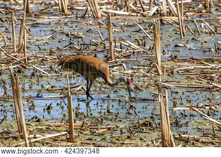 The Sandhill Crane (antigone Canadensis) Near The Nest Natural Scene From Wisconsin During Nesting