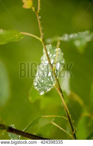 Raindrops On Green Leaves Of A Tree, Clear And Clear Water