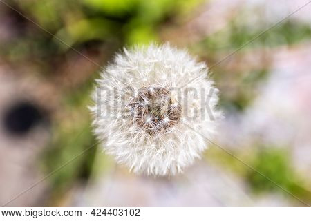 A Top Down Close Up Macro Portrait Of A White Fluffy Common Dandelion Flower. You Can See All The Sm