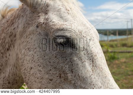 Beautiful White And Brown Mare Looking Straight Ahead. Large Mammalian Animal. Light-coated Equine.