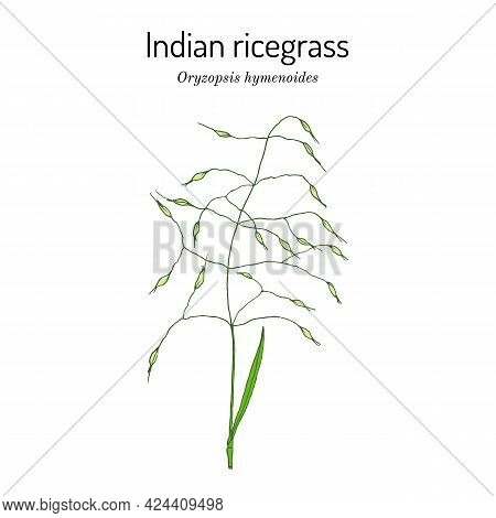 Indian Ricegrass Or Sand Rice Grass Oryzopsis Hymenoides , Official State Grass Of Nevada. Vector Ha