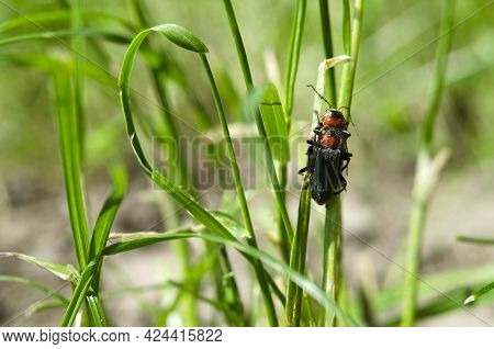 Two Beetles In The Grass Process Mating In The Wild