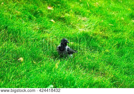 A Large Crow Searches For Food On The Green Grass Of The Lawn. Big Black Bird.