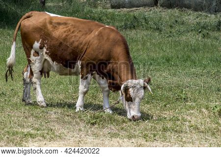 The Cattle (bos Taurus) Graze On Pasture.