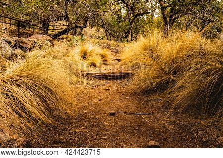 Fluffy Grass Spills Onto The Trail Heading To South Rim In Big Bend National Park